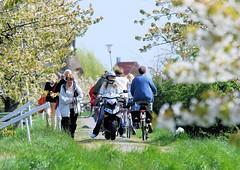 Zur Obstblüte gehen viele Ausflügler auf dem Deich spazieren - auch Fahrradfahrer und Motorrollerfahrer nutzen die Deichkrone.