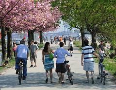 Das Elbufer ist bei Sonnenschein ein bliebtes Ausflugsziel - man kann mit dem Fahrrad die Strecke fahren oder unter blühenden Kirschbäumen spazieren gehen.