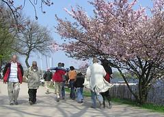 BesucherInnen auf dem Spazierweg am Alsterufer - blühende Zierkirschen.