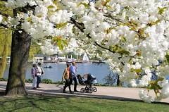 Zweig mit weissen Zierkirschenblueten an der Hamburger Aussenalster. Spaziergänger geniessen die warme Frühlingssonne.