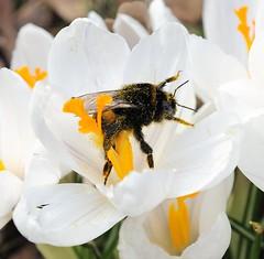 Eine Dicke Hummel sitzt am Bluetenstengel eines Krokusses; sie ist mit gelben Pollen bedeckt.