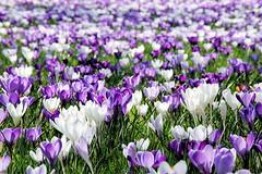 Frühlingswiese mit violetten und weissen Krokusblueten in der Sonne.Die Pflanzengattung Krokus gehört zur Familie der Schwertliliengewächse (Iridaceae).
