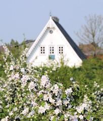 Kirschbaumblüte - weisser Hausgiebel zwischen Obstbäumen.