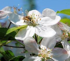Biene in geöffneter Kirschblüte - Kirschbäume im Alten Land.