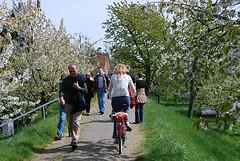 Spaziergang zwischen bluehenden Obstbaeumen. Radtour und Ausflug im Obstanbaugebiet zur Obstblüte.