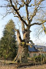 Die Kroneiche  bei Minzow - Röbel Müritz, Mecklenburg-Vorpommern hat ein Alter von ca. 600 Jahren.