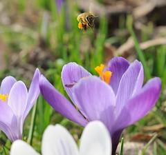 Krokusblueten im Frühling - eine Biene mit gefüllten Körbchen fliegt über der Blüte.Die Pflanzengattung Krokus gehört zur Familie der Schwertliliengewächse (Iridaceae).