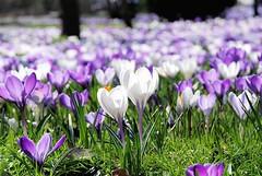 Frühlingswiese mit violetten und weissen Krokusblueten in der Sonne. Die Pflanzengattung Krokus gehört zur Familie der Schwertliliengewächse (Iridaceae).