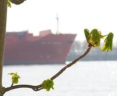 Junge Kastanienblätter am Elbrand - Bug eines Frachtschiffs auf der Elbe.