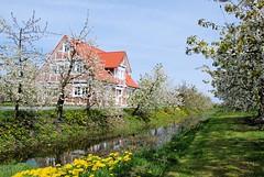 Entwässerungsgraben, blühender Löwenzahn auf der Wiese. Obstbäume in Blüte stehen entlang des Grabens - ein Wohnhaus steht zwischen den blühenden Obstbäumen.