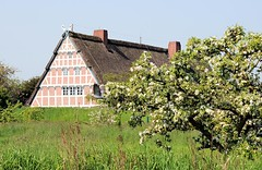 Wiese mit blühendem Obstbaum - Bauernhof mit Fachwerk und Reetdach hinterm Deich.