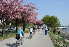 Hamburger und Hamburgerinnen nutzen die Frühlingssonne um eine Tour mit dem Fahrrad entland der Elbe zu machen - blühende Kirschbäume am Elbufer in Hamburg Teufelsbrück.
