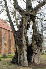 Die Kirchlinde in Zurow hat einen Durchmesser von 9,03 m und ein Alter von 650 - 900 Jahre.
