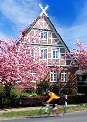 Fachwerkgebäude an der Strasse - rosa blühende Zierkirschen im Vorgarten. Ein Radrennfahrer fährt auf der Strasse durchs Alte Land.