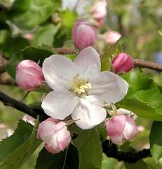 Eine geöffnete Blüte an einem Apfelbaum - Knospen.
