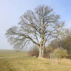 Alte Schäferbuche, Rotbuche in der Gemeinde Dobbin-Linstow des Landkreises Rostock.