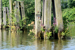 Fotos aus dem Hamburger Stadtteil Kleiner Grasbrook, Bezirk Mitte; alte Holzdalben mit Pflanzenwuchs im Moldauhafen.