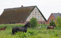 Bauernhaus mit Fachwerkgiebel und Reetdach hinter dem Deich. Mehrere Pferde grasen auf einer saftigen Wiese am Ufer der Este. Hinter dem Estedeich stehen die Wohnhäuser gut geschützt vor dem Hochwasser des Flusses.