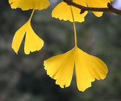 Herbstlich  gefärbte Blätter eines Ginkobaums im Hamburger Stadtpark.