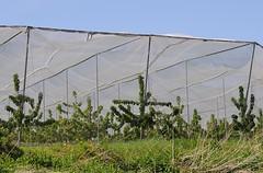 Kirschanbau im Alten Land - die Plantange der Obstbäume in mit Netzen gegen Vögel gesichtert.
