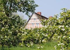 Kirschblüte im Alten Land. Giebel eines Fachwerkhauses hinter einer Kirschplantage; die Bäume tragen Blüten.