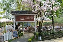 Gartencafe Altes Fährhaus in Hamburg Cranz. Die Gäste des Cafés sitzten in der Sonne unter blühenden Kirschbäumen.