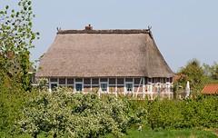 Reetdachhaus im Alten Land - Fachwerkgebäude zwischen blüehenden Obstbäumen.