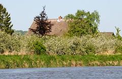 Bilder aus dem Alten Land - Ufer der Este. Blühende Obstbäume am Wasser - Reetdächer ragen dazwischen heraus.