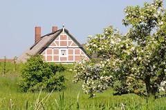 Ein blühender Kirschbaum im Alten Land. Fachwerkhaus in der Sonne am Deich der Este. Obstbäume stehen auf einer Wiese nahe der Este - ein Kirschbaum steht in voller Blüte; lks. sind neu gepflanzte junge Bäume zu erkennen. Hinter dem Deich liegt ein v
