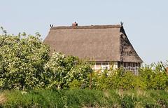 Strohdachhaus am Ufer der Este - blühende Obstbäume.