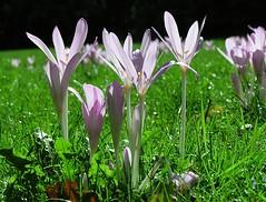 Blühende Herbstzeitlose im Winterhuder Stadtpark; die Herbstzeitlose ist eine ausdauernde, äußerst giftige krautige Pflanze, die Wuchshöhen von 8 bis 30 Zentimeter erreicht.