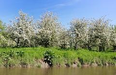 Obstbaumblüte im Alten Land. Dicht an dicht stehen die blühenden Obstbäume auf einer Wiese am Esteufer.