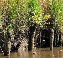 Verrottete Uferbefestigung - aus einem der Holzstämme wachsen blühende Blumen.