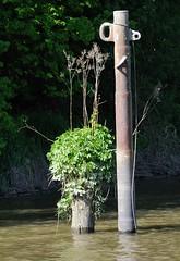 Alter Holzdalben mit Grünpflanzen bewachsen - Stahldalben mit Festmachösen.