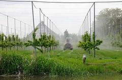 Kirschbäume am Esteufer im Alten Land. Zwischen den Bäumen stehen Stangen mit denen zur Reifezeit der Früchte Planen gehalten werden, die die Vögel abhalten sollen - ein Trecker fährt durch die Baumreihen.