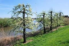 Blühende Obstbäume am Ufer der Este bei Hamburg Cranz.