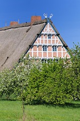 Historisches Fachwerkgebäude - mit Reet gedecktes Dach. Der Giebel des alten Bauernhauses ist mit Pferdeköpfen als Giebelschmuck versehen - auf der Wiese vor dem Haus stehen die Obstbäume in Blüte.