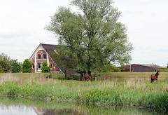 Pferde auf einer Wiese am Esteufer. Hinter dem Deich steht ein Bauernhaus mit Klinkerfassade.