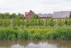 Obstplantage am Esteufer bei Estebrügge im Alten Land - dicht an dicht stehen die jungen Kirschbäume auf der Wiese am Wasser. Zwischen den Bäumen stehen Stangen mit denen zur Reifezeit der Kirschen Planen gehalten werden, die die Vögel vom Naschen ab